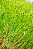 Young rice in the field Stock Image
