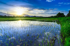 Young rice field with mountain sunset background Stock Photo