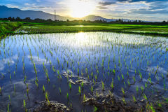 Young rice field with mountain sunset background Stock Image
