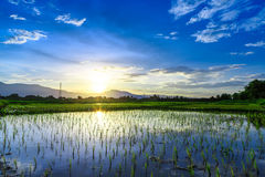 Young rice field with mountain sunset background Royalty Free Stock Photography