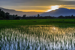 Young rice field with mountain sunset background Stock Photos