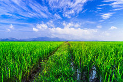 Young rice field with mountain sunset background Royalty Free Stock Photos