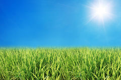 Free Young Rice Field With Blue Sky And Sunshine Stock Photo - 89178600