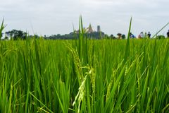 Young rice in rice fields. Rice paddy in rice fields stock image
