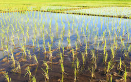 Young rice fields. In Thailand, Start planting in June to October Royalty Free Stock Photography