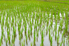 Young rice  in the the flooded rice field. Stock Photo
