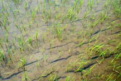 young rice are growing Stock Photo