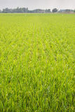 Young rice. Young jusmin rice field in thailand Royalty Free Stock Image