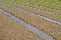 Young rice in paddy field Stock Photos