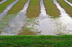 Young rice in the paddy field Royalty Free Stock Photos