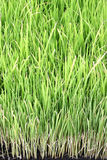 Young rice plant Royalty Free Stock Photos