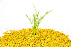 Young rice plant in paddy ground Stock Images