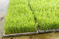 Young rice plant seedlings growing in trays in paddy field Royalty Free Stock Photos