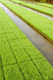 Young rice plant seedlings in paddy field vertical Royalty Free Stock Images