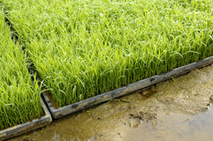 Young rice plant seedlings ready for planting growing in trays in paddy field Royalty Free Stock Photos