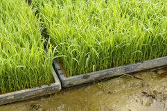 Young rice plant seedlings ready for planting in paddy field. Young rice plant seedlings ready for planting growing in trays at edge of paddy field Royalty Free Stock Image
