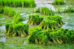 Young rice plant Royalty Free Stock Images
