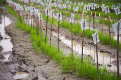 Young rice plantation Stock Photo