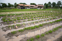 Young rice plantation Stock Photography