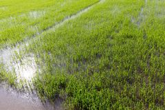 Young rice plantation Royalty Free Stock Image