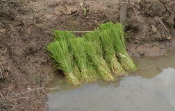 Young rice plants Royalty Free Stock Image