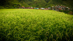 Young Rice Plants Glowing Green and Yellow With Maligcong Village in Dista Stock Photo