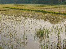 Young rice plants in a paddy field filled with water in rural area in the North of Thailand. Young rice plants in a paddy field filled with water in rural area royalty free stock photos