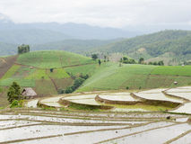 Young Rice ready to growing in rice fields on terraced Royalty Free Stock Image
