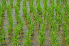 Young rice in the rice field Stock Image