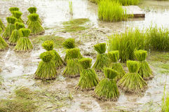 Young rice in the rice field. Royalty Free Stock Image