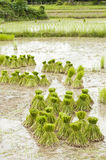 Young rice in the rice field. Royalty Free Stock Photography