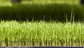 Young rice or Rice seedling Royalty Free Stock Image