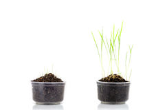 Young rice seedling growing in a soil on white background. Stock Photo