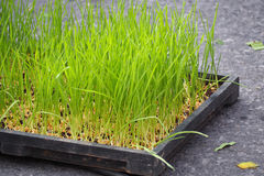 Young rice seedling growing in the tray Royalty Free Stock Photos