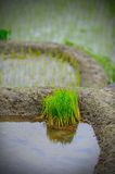 Young rice seedlings Royalty Free Stock Photo