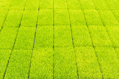 Young rice sprout in cultivated area Stock Image