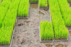 Young rice sprout in cultivated area Stock Photography