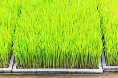 Young rice sprout in cultivated area Royalty Free Stock Photography