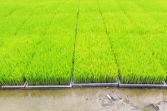 Young rice sprout in cultivated area Stock Images
