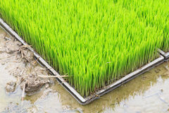 Young rice sprout in cultivated area Royalty Free Stock Photo