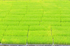 Young rice sprout in cultivated area Royalty Free Stock Image