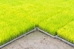 Young rice sprout in cultivated area Royalty Free Stock Photos