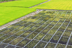 Young rice sprout in cultivated area Stock Photos