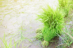 Young rice sprout. Royalty Free Stock Images
