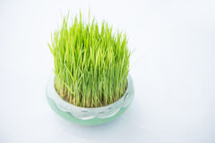 Young rice sprout growing in small jardiniere Stock Images