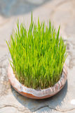 Young rice sprout growing in small jardiniere Stock Photography