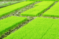 Young rice sprout Royalty Free Stock Images