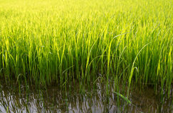 Young rice sprout ready  growing in the rice field Stock Photography