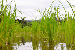 Young rice sprout ready to growing in the rice field Stock Images