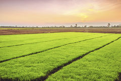 Young rice sprout ready to growing in the rice field Stock Image